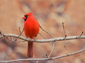 Red Cardinal- Marilou Aballe. Google+.1-25-15