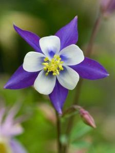 Found on Pinterest on 3-11-16. Columbine.